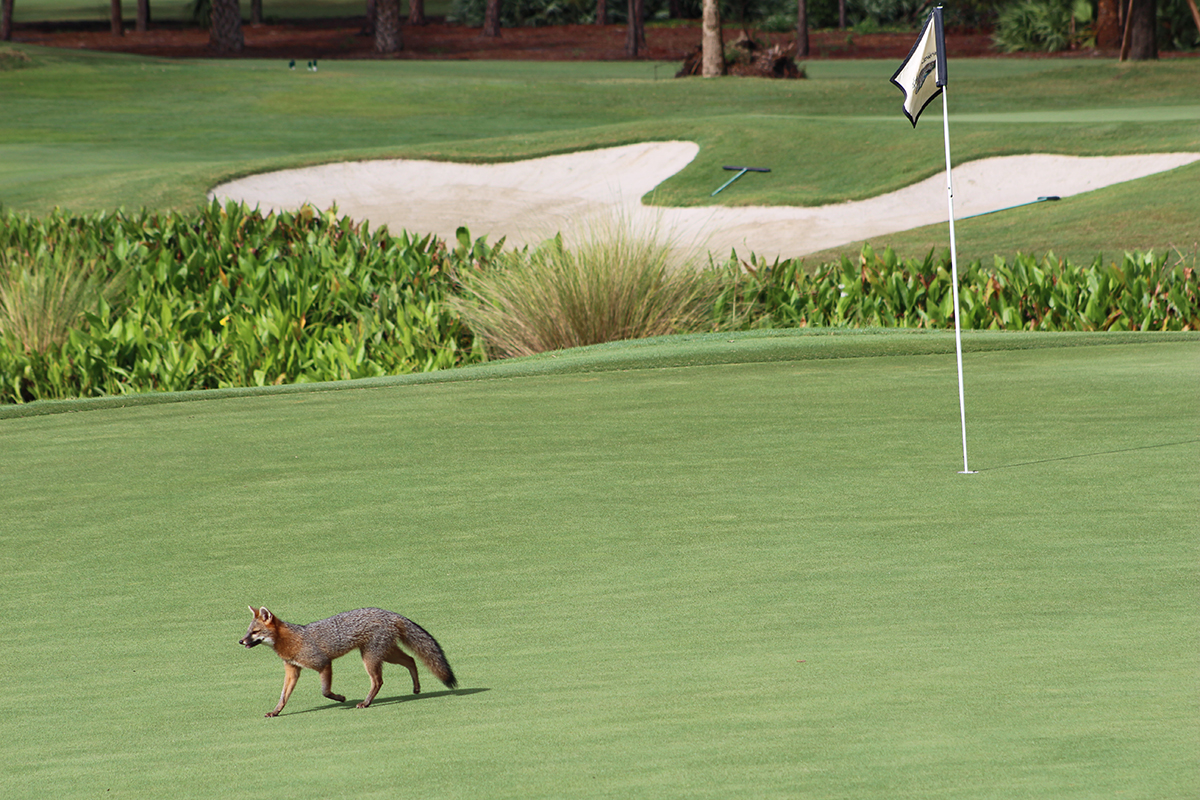 A fox makes its way across one of the greens at Broken Sound